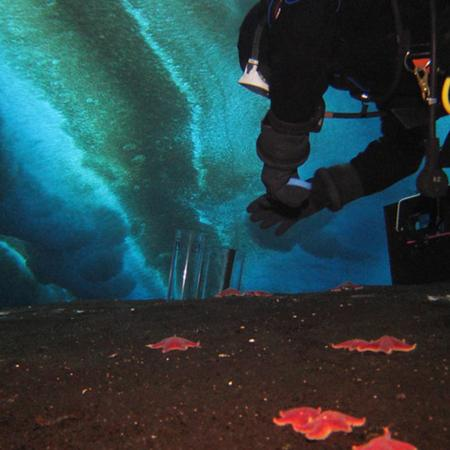 Scuba diver collecting samples on shallow sea floor in Antarctica.